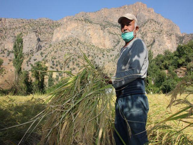 Hakkari'de kadınlı erkekli pirinç hasadı başladı