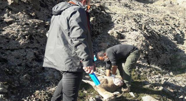 Dersim'de 8 yaban keçisi ölü bulundu