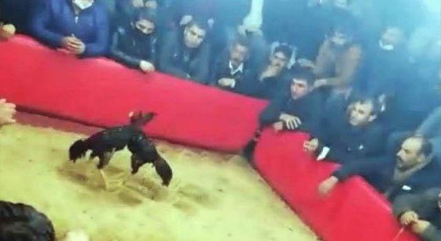 Urfa'da horoz dövüştürenlere 105 bin lira ceza