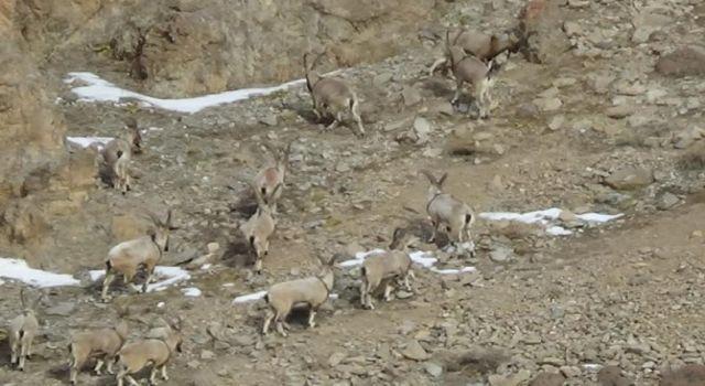 Yaban keçilerinin sayısı 500'ü buldu