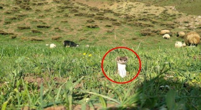 Hakkari'de beyaz gelincik görüntülendi